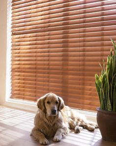 Even this adorable dog finds living with the natural beauty of Parkland™ Reflections® wood blinds comfortable. ♦ Hunter Douglas window treatments