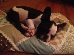 Sleepy baby Pig Baby Pigs, I Miss Her, Passed Away, Sweet Girls, Boston Terrier, Cute, Dogs, Animals, Animais