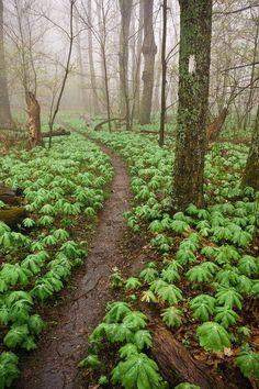 Mayapples, Appalachian Trail, Virginia