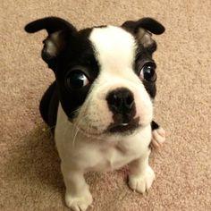 Boston Terrier 'RockyBaby'