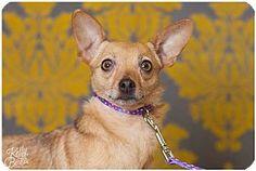 Fort Wayne, IN - Chihuahua Mix. Meet Caroline, a dog for adoption. http://www.adoptapet.com/pet/17372304-fort-wayne-indiana-chihuahua-mix