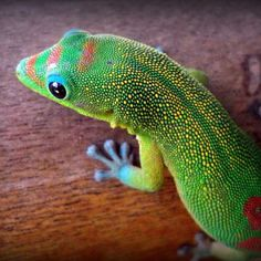 Gold Dust Day Gecko (Phelsuma laticauda), spotted by RyanMiller2 in Hawaii