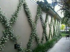 Co Co's Collection : Formal garden # structure # roses # boxwood. Star jasmine is trained on the espalier a with monkey grass covering the base