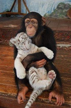 a chimp holding baby tiger