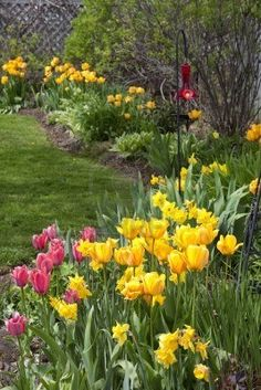 Tulips and daffodils flowering in a backyard garden.