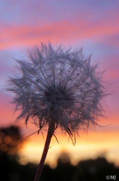 Dandelion against the sunset skies