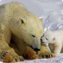 Protecting endangered species    Image source: https://www.nwf.org/~/media/Content/Animals/Mammals/Bears/Howard%20Ruby%20Polar%20Bears/219x219/CubKissingMom_HowardRuby_219x219.ashx?w=219&h=219&as=1