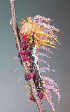 Caterpillar of Saturniidae Moth in Switzerland so amazing