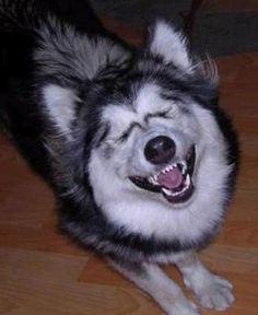 funny husky pup