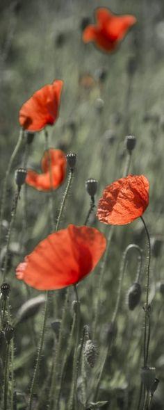 Klatschmohn, Mohn, Papaver rhoeas, Pflanze, Pflanzen, Blume, Blumen, Blüte, Blüten, rot | Poppy, plant, plants, flower, flowers, red, bloom, blooming,