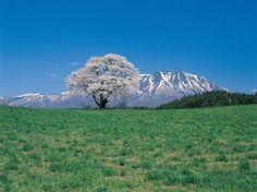 喔喔喔~~一棵櫻花樹配上後頭有殘雪的山景,這可不是畫,也不是夢境呀!!!這是在岩手縣小岩井農場的一本櫻,本來這棵樹本來是為了給牛隻有休憩之處,沒想到卻成了這麼迷人的景色,大家是不是也很想親自去瞧瞧呢?(來源日本旅遊情報局2)