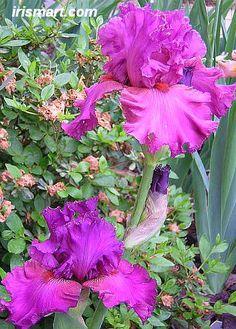 'Fashionably Late' Tall Bearded Iris