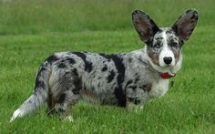 blue merle - my favourite colour
