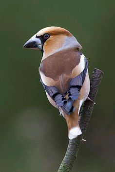 Hawfinch -  (Coccothraustes coccothraustes)