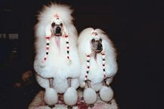 How to Dye Standard Poodles