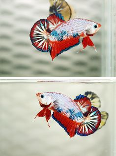 copperbettas: What a awesome fancy betta link Betta Fish Types, Betta Fish Care, Freshwater Aquarium, Aquarium Fish, Poisson Combatant, Cool Fish, Fish Logo, Beta Fish, Siamese Fighting Fish