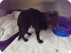 Pasadena, CA - Norwich Terrier Mix. Meet A366467, a dog for adoption. http://www.adoptapet.com/pet/11771065-pasadena-california-norwich-terrier-mix