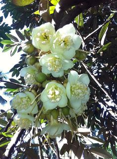 durian flower...in our farm...