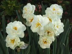 Daffodil flowers (Narcissus 'Bridal Crown').