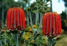 "Banksia coccinea - Banksia is a genus of around 170 species in the plant family Proteaceae. These Australian wildflowers and popular garden plants are easily recognised by their characteristic flower spikes and fruiting ""cones"" and heads. Unusual Flowers, Unusual Plants, Rare Flowers, Exotic Plants, Cool Plants, Amazing Flowers, Wild Flowers, Cut Flowers, Australian Wildflowers"