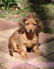 Mini Long Hair Dachshunds Reg D Breeder Puppies For Sale