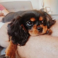 Cute Baby Dogs, Cute Dogs And Puppies, Cute Baby Animals, I Love Dogs, Doggies, Cavalier King Spaniel, Cavalier King Charles Dog, Charles Spaniel, Vida Animal