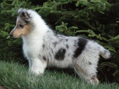 Blue Merle Collie Puppy, Male. 12 weeks