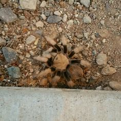 """Tarantulas were in abundance this summer.  This is probably the """"prettiest"""" one I've seen.  Totally timid and harmless.  #hiking #Arizona #desert #oldmanhiking #critter."""