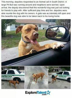 Pitbulls are adorable.