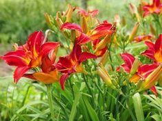Composition suspendue avec fuschia verveine rouge bacopa for Amaryllis rouge signification