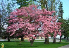 Pink Dogwood Tree ~ Grows in Zones	5, 6, 7, 8, 9 Sunlight	Full Sun, Part Sun, Part Shade (needs some shade in warmer zones) Soil Type	Acidic, Adaptable, Well-drained, Fertile Mature Height/Width 15'-25' Drought Tolerance	Good Fall Color	Red Bloom Color	Pink Botanical Name	Cornus florida f. rubra