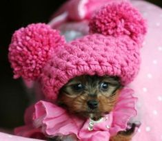 Teacup Yorkie puppy in a pink hat!