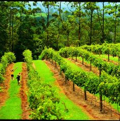 Vineyards, Sunshine Coast, Australia