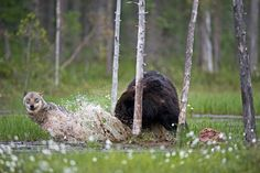 Rare Pictures Show Unusual Friendship Between Wolf And Bear In Wild Finland Beautiful Creatures, Animals Beautiful, Unlikely Friends, Amor Animal, White Wolf, Gray Wolf, Rare Animals, Rare Pictures, Cutest Animals