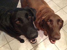 Moose & Kona - very loving brother and sister who were looking for a home together. Labrador Retriever Rescue, Foster Dog, The Fosters, Moose, Brother, Adoption, Animals, Elk, Animales