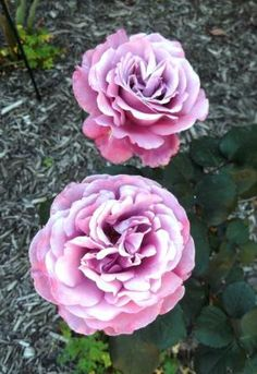 Beautiful spring rose flowers - hints for what we should be doing as the weather warms up - thelinkssite.com