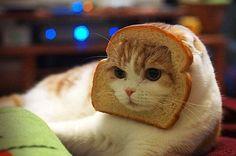식빵 고양이