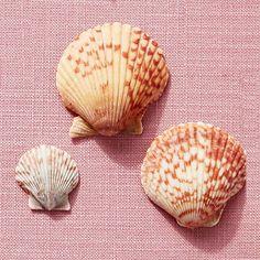 Atlantic Calico Scallops - America's Most Popular Seashells - Coastal Living