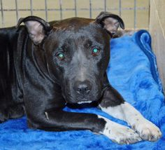 """Ramona Humane-Society San Jacinto, CALIFORNIA ***FOSTERS NEEDED*** Another PREGNANT FULL TERM - RESCUE ONLY!! """"Amy"""" - Pitbull female Mix - 83416 / R199758 Poor Amy came in to us as a stray pregnant! 2 yrs. old & she weighs 58.9 lbs. She needs to have her puppies out of the shelter, rather than in the shelter! https://www.facebook.com/815536185232443/photos/a.819336751519053.1073741833.815536185232443/847293508723377/?type=3&theater"""