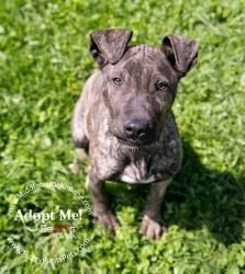 Dexter is an adoptable Pit Bull Terrier Dog in Middleburg, VA. Dexter is the best puppy ever! He is highly intelligent, learns very quickly and has very good social skills. We have raised him with c...