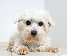 Maltese dog for Adoption in Eden Prairie, MN. ADN-451512 on PuppyFinder.com Gender: Female. Age: Adult
