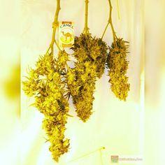 A few Cindy Bud Shots  Cinderella 99 low pressure aeroponics grow. Will always grow this girl. Bros Grimm the original breeder is now back in business on 4/20  http://ift.tt/238uaUP  OR TAP LINK IN BIO @howtogrowweed420  #weed #marijuana #cannabis #medicalmarijuana #mmj #ogkush #og #loud #dank #hydroponics #aeroponics #howtogrowweed #growingweed #420dotcom #howtogrow #howtogrowweedindoors #karmagenetics  #awardwinningcircle #karma_squad_strong  #cinderella99 #brothersgrimmseeds by…