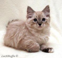 ragamuffin kittens - Google Search
