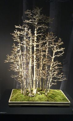 Galery Bonsai Klasik I Bonsai Seeds, Bonsai Plants, Bonsai Garden, Indoor Bonsai, Potted Trees, Trees To Plant, Ikebana, Bonsai Forest, Birch Forest