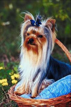 The Yorkie has a single layer of hair instead of layers of fur like other dogs. This makes conditioning the Yorkie's coat a necessity. However, a conditioner that is too heavy may weigh the coat down and make it look thin. Therefore, consider making your own natural rosemary conditioner that is safe and has a nice aroma.