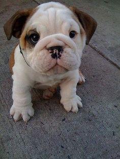 Bulldogs!