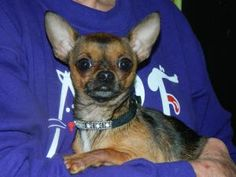 Chico is an adoptable Chihuahua Dog in Muncie, IN. Adoption fees for dogs are $150.ARF's adoption hours are Tues, Wed, and Thur 1-5pm & Sat Noon-3pm. We can hold animals for out-of-town visitors with...