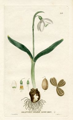 Common Snowdrop (Galanthus nivalis) - Issac Russell - British Flowering Plants (England-1834)