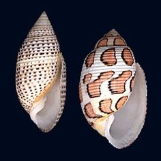 Solid Pupa and The Eloise Shell
