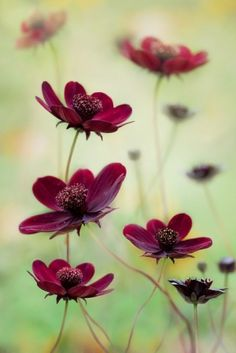 chocolate cosmos - would love to try growing these by Stella55